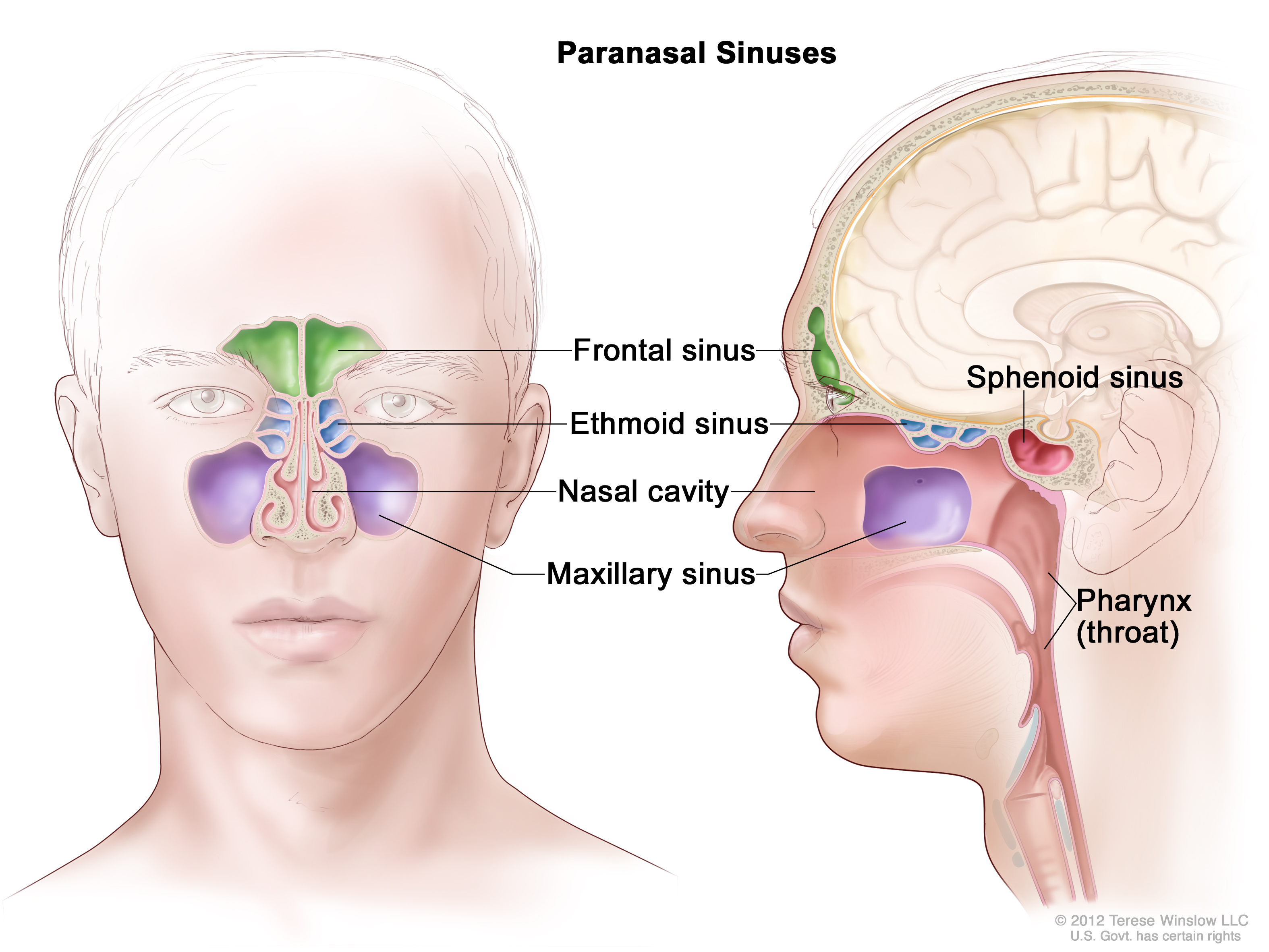 Illustration of the paranasal Sinuses.