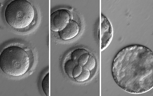 Embryonic gene cell trio