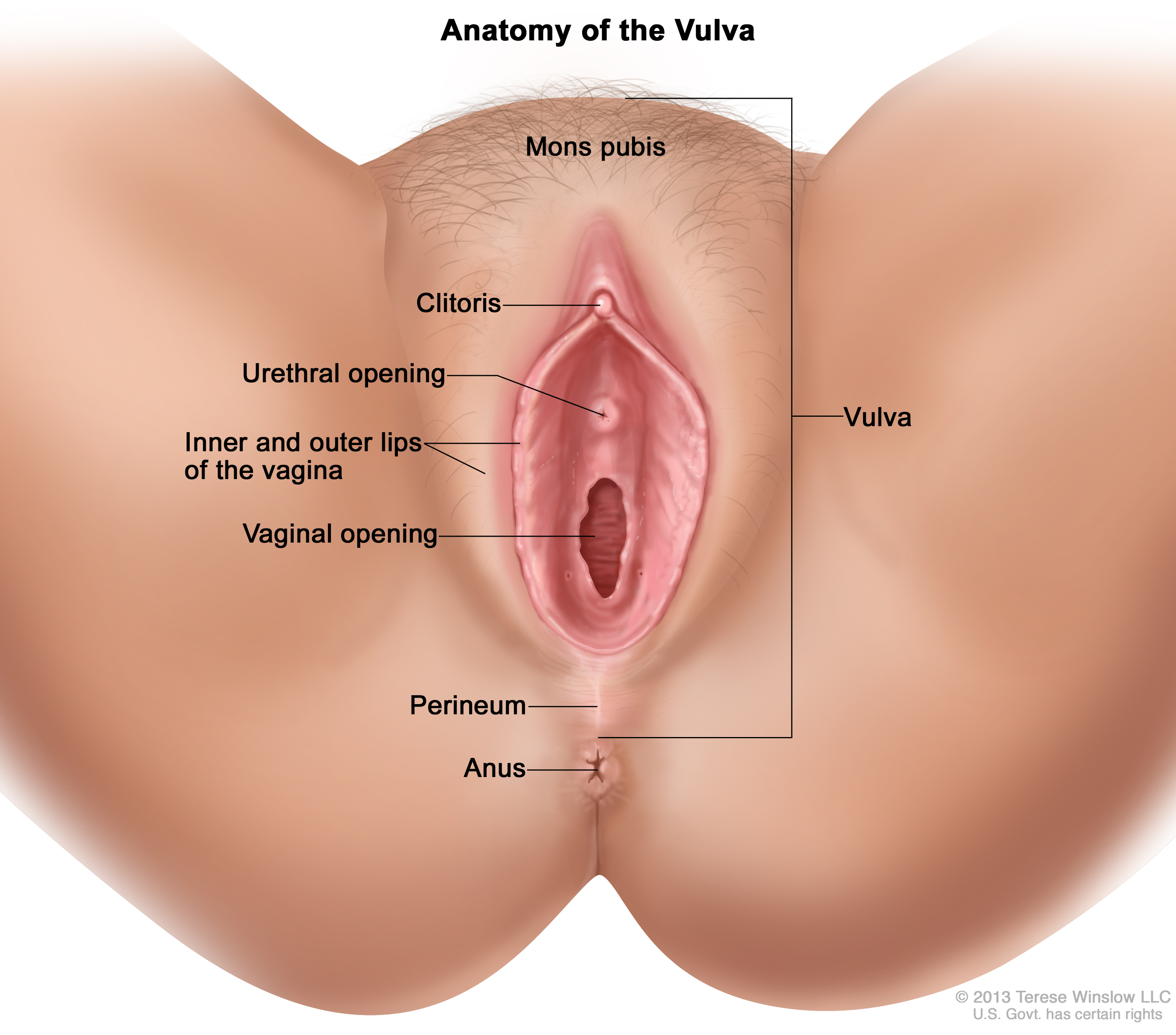 Rendering of the anatomy of the vulva