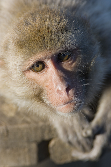 Rhesus Macaque looking at the camera