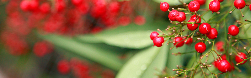 A close up image of a plant with red berries