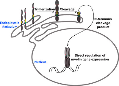 The MYRF transcription factor is initially produced as a  transmembrane protein, self-cleaving to generate a trimeric transcription factor (graphic)
