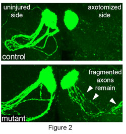 Figure 2 depicts glia failing to engulf degenerating axons after axotomy