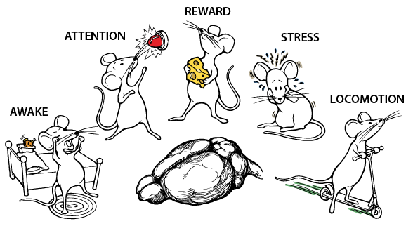 "Opening graphic from the ""A highly sensitive A-kinase activity reporter for imaging neuromodulatory events in awake mice"" video abstract in Neuron"