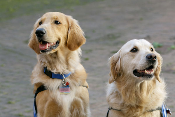 The two golden retriever therapy dogs, Davis and Hope