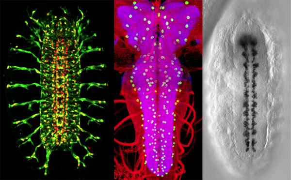 Triptych of larval glial cells at different stages of development