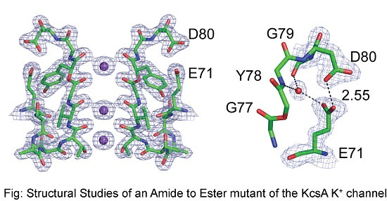 Amide to ester mutant of the KcsA K+ channel