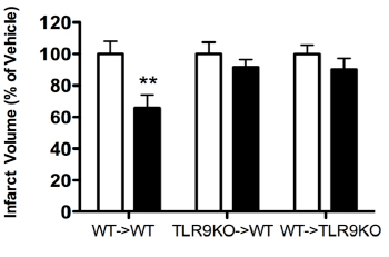 Figure four: Three pairs of bar graphs presenting Infarct Volume (percentage of Vehicle) for WT->WT, TLR9KO->WT and WT->TLR9KO.