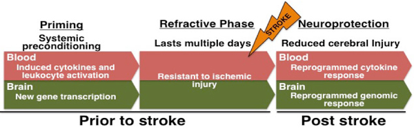 Diagram presenting blood and brain information, prior to stroke and post stroke, over the three phases of preconditioning: Priming (systematic preconditioning), refractive phase (lasts multiple days), neuroprotection (reduced cerebral injury). In priming stage blood info says: induced cytokines and leukocyte activation. Brain info says: New gene transcription. In refractive phase, blood and brain have shared information: resistant to ischemic injury. In neuroprotection phase, blood info says: reprogrammed c