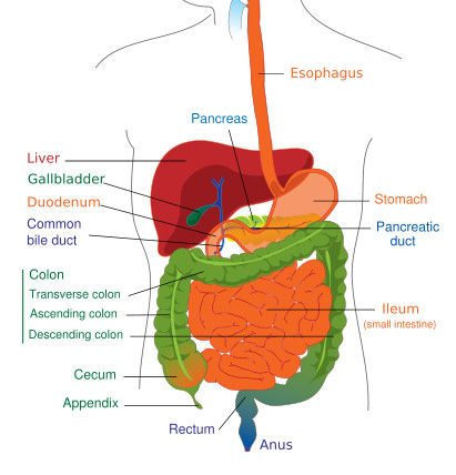 Pediatric Gastroenterology Patient Information | Doernbecher