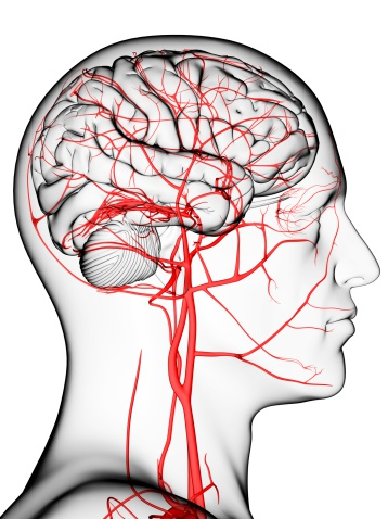 Diagram of a silhouette showing blood flow through the brain