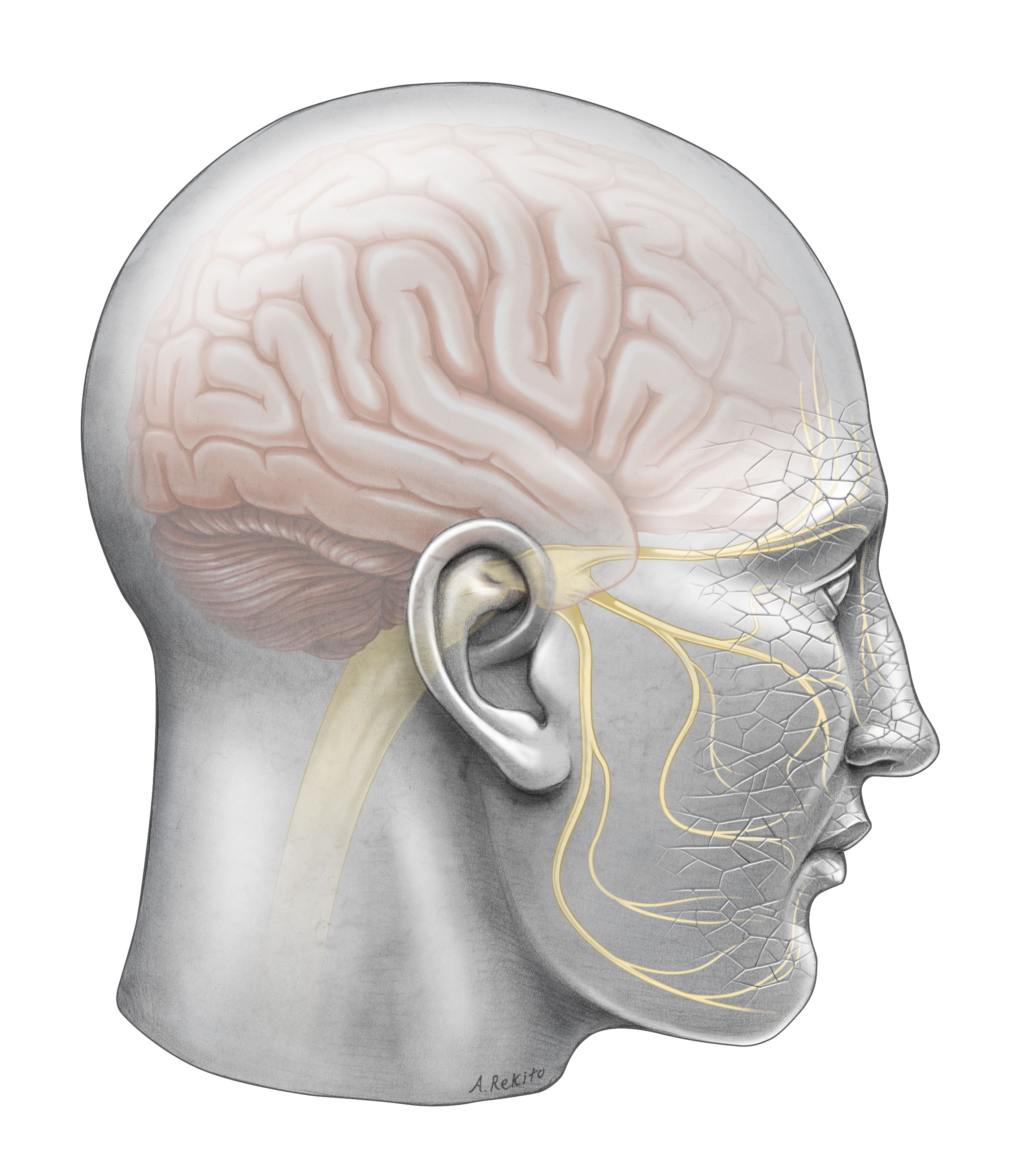 Andy Rekito/OHSU: The trigeminal nerve branches across each side of the face