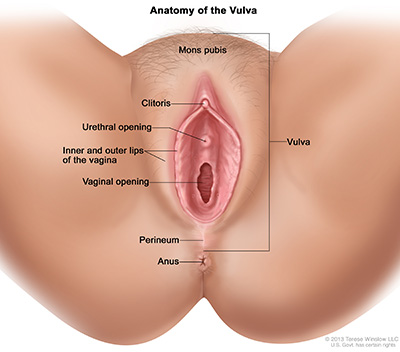 Diagram of the anatomy of the vulva