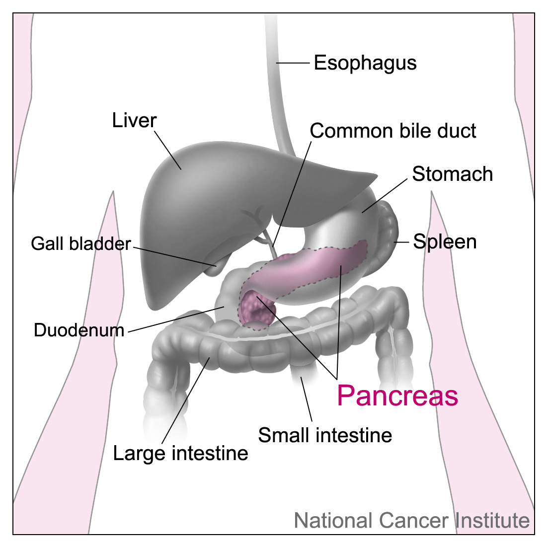 anatomy of the pancreas and surrounding organs - diagram used to illustrate diagnosing pancreatic cancer with endoscopic ultrasound (EUS)