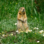 A squirrel stands on it's hind legs in the grass