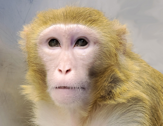 A rhesus macaque monkey has a rare genetic disease that could help researchers develop new treatments for Bardet-Biedel syndrome..