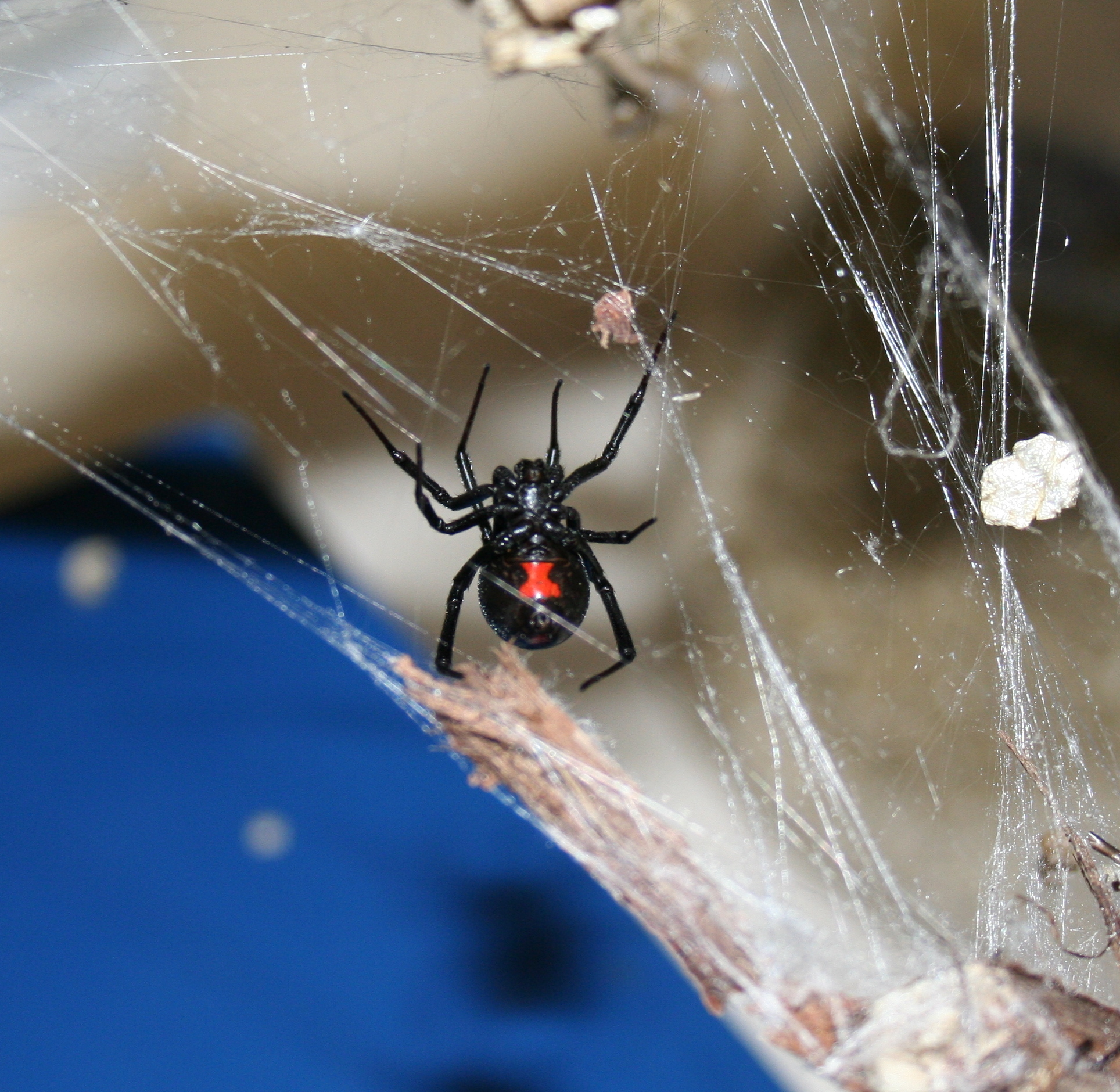 Black widow spider hanging from spider web