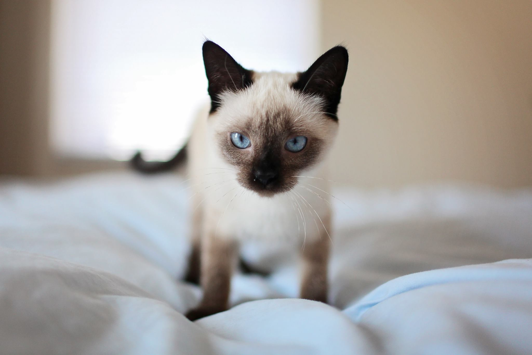 siamese cat on a bed
