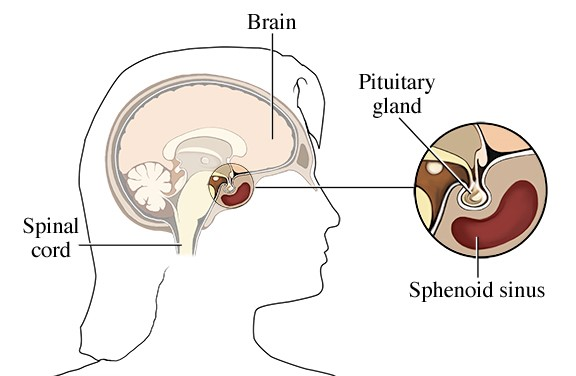 Anatomy of the pituitary gland and its location below the brain