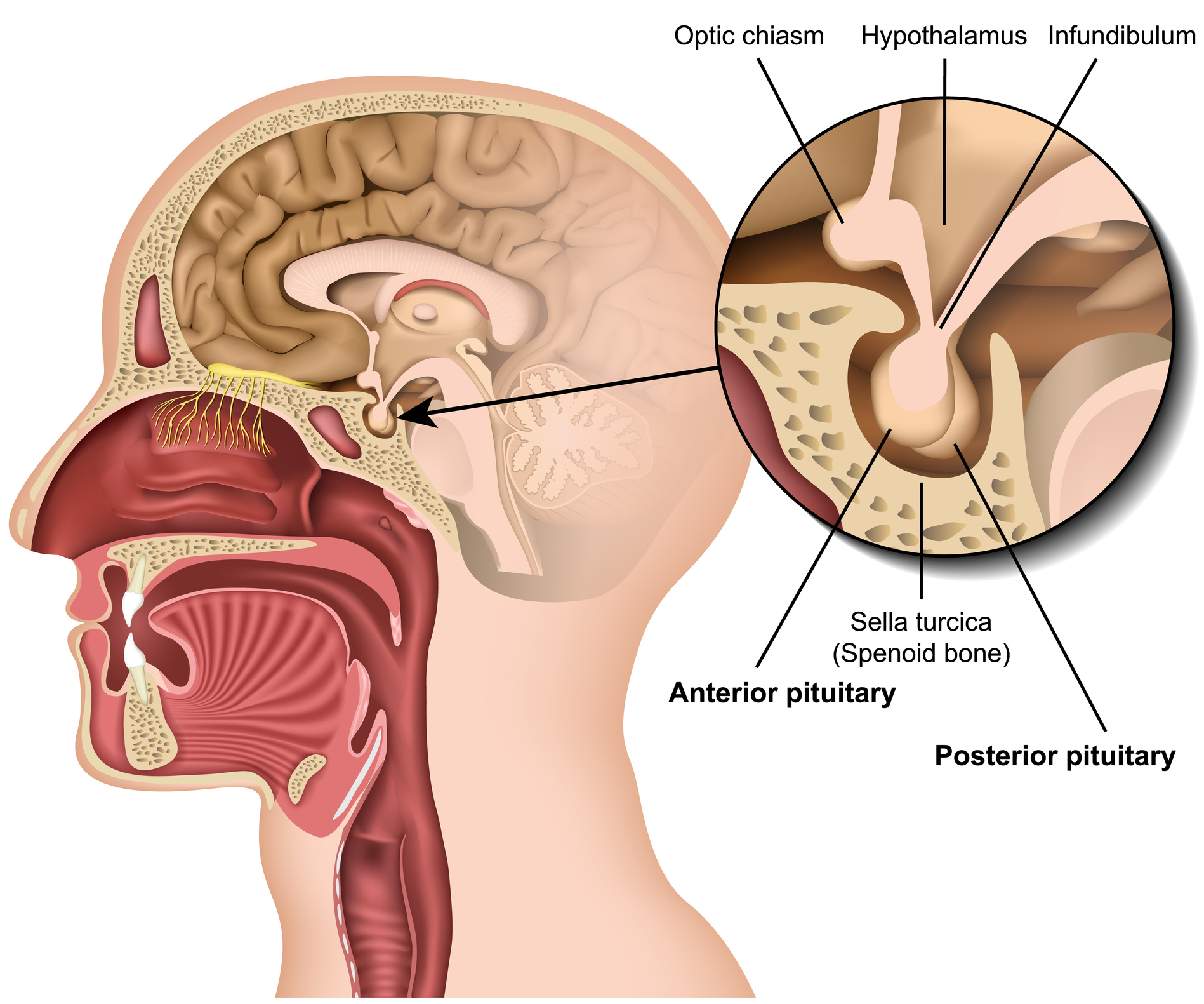 Diagram of the anatomy of the pituitary gland