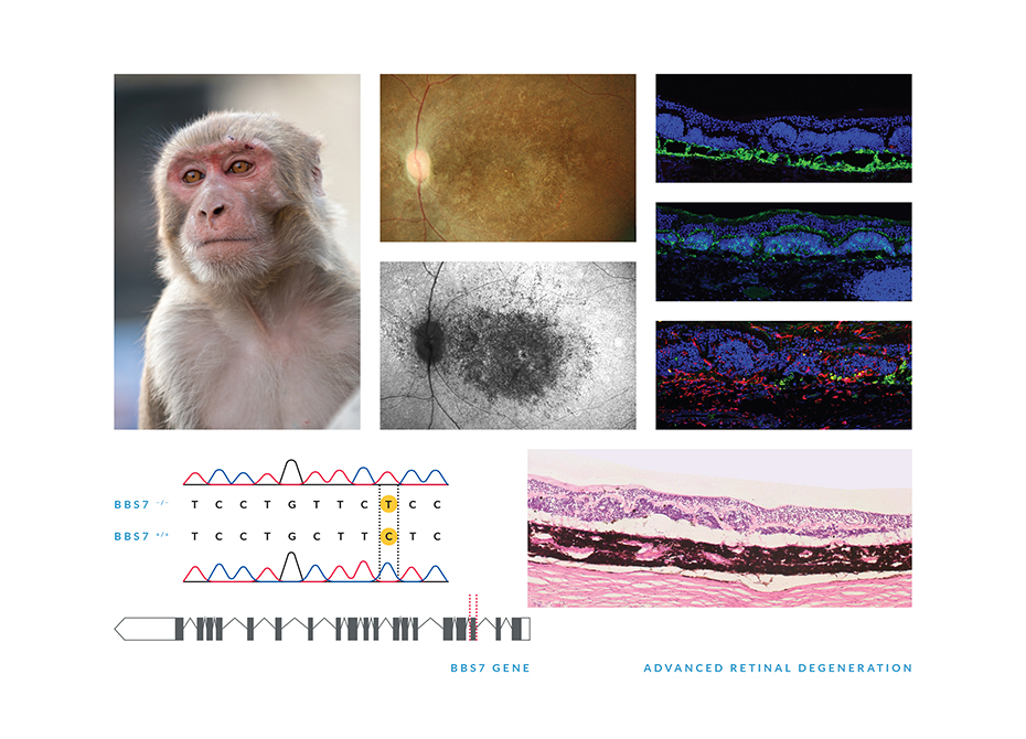 Researchers are able to learn about inherited retinal diseases by watching monkeys
