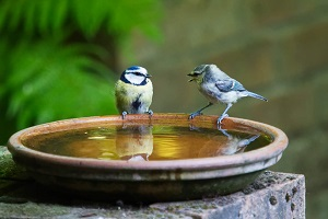 "Two birds ""speaking"" in a bird bath."