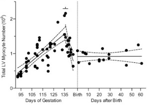 Cardiomyocyte number increases during gestation, but decreases suddenly before birth.