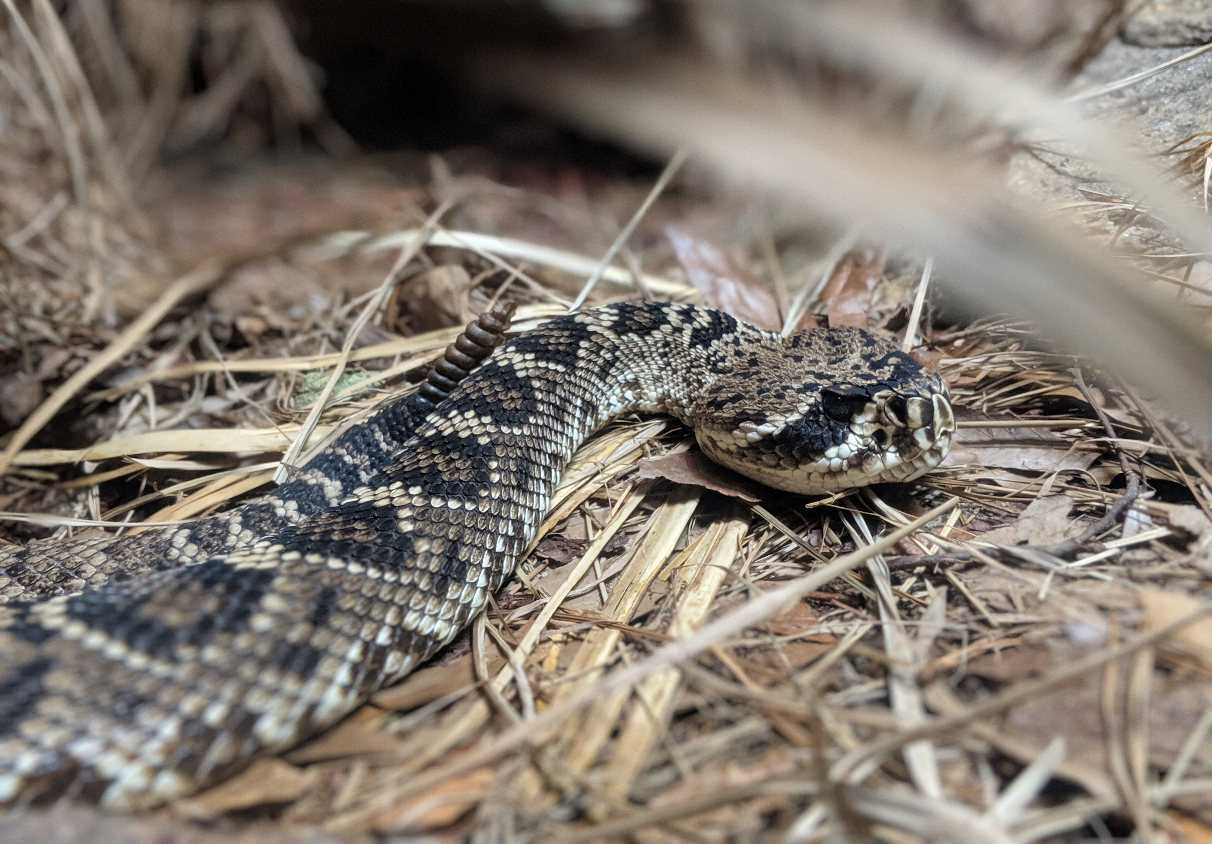 a rattlesnake lies in the grass