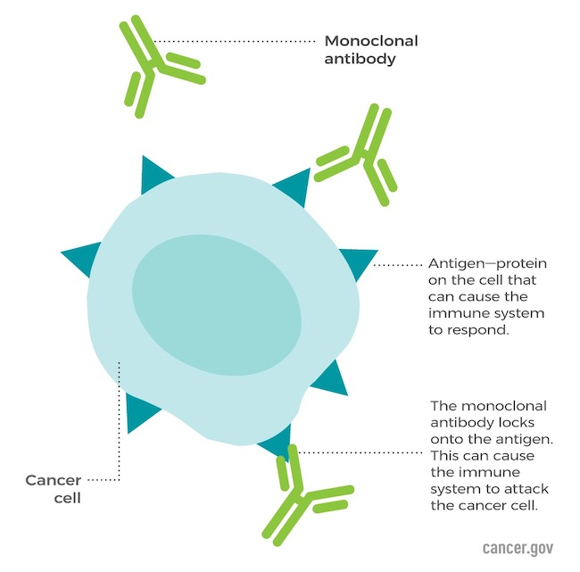 Monoclonal antibodies are synthetic proteins that bind to targets, such as a protein, on the surface of a cancer cell