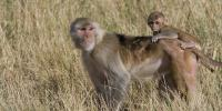 Rhesus Macaque mother and young